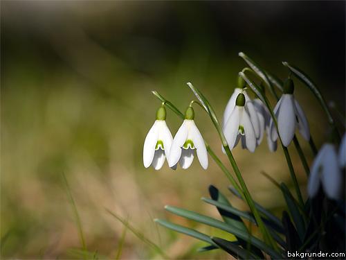 Snödroppar Galanthus nivalis