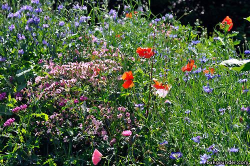 Blomsteräng sommarängsblommor