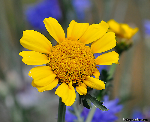 Blomsteräng sommarblommor
