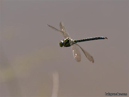 Blågrön mosaiktrollslända
