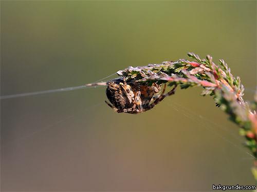 Spindel på tråden