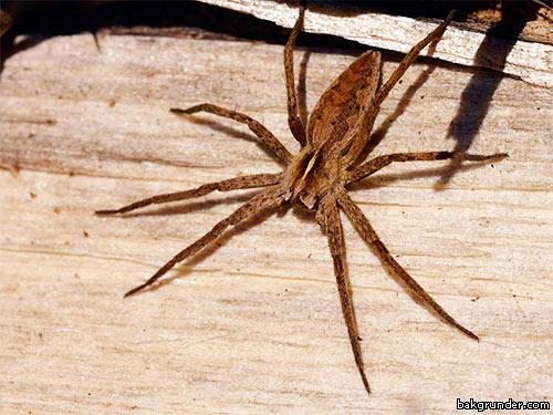 Spindel vårspindel
