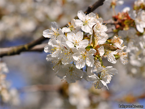 Vårblommor Körsbärsblommor