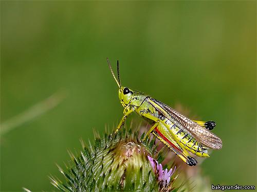 Kärrgräshoppa stethophyma grossum