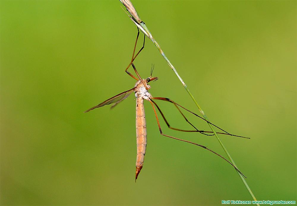 Harkrankar (Tipuloidea)