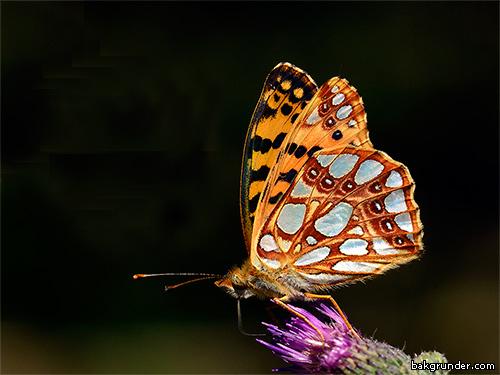 Storfläckig pärlemorfjäril Issoria lathonia