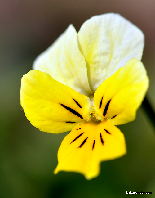 Styvmorsviol Viola tricolor L