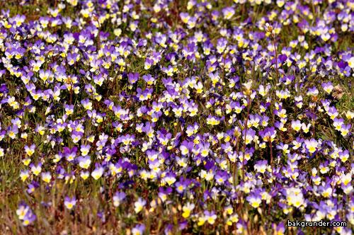 Styvmorsvioler Viola tricolor L
