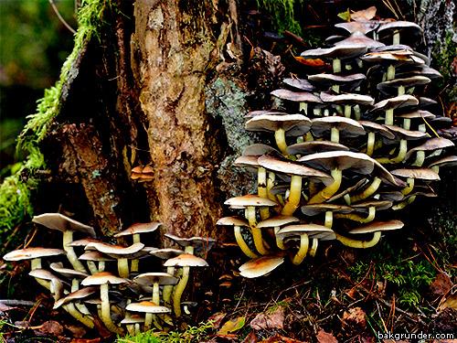 Många svampar