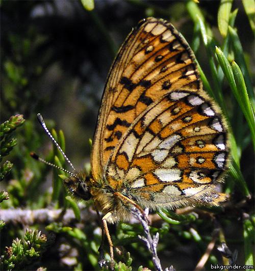 Svartringlad pärlemorfjäril Boloria eunomia