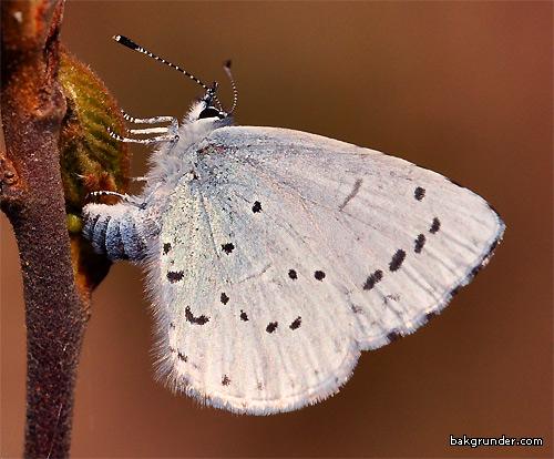 Tosteblåvinge Celastrina argiolus