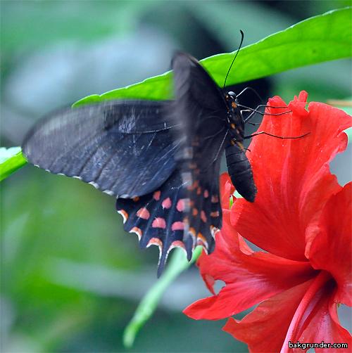 Tropiska fjärilar - Exotiska fjärilar