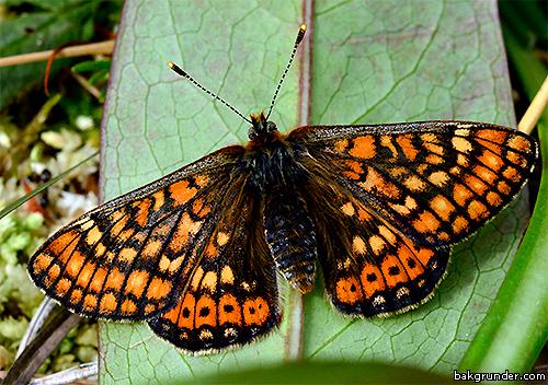 Väddnätfjäril Euphydryas aurinia Hona