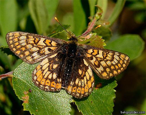Väddnätfjäril Euphydryas aurinia