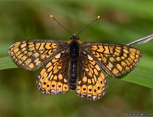 Väddnätfjäril Euphydryas aurinia Hane