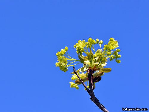Vårens knoppar