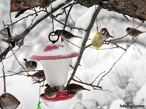 Pilfinkar vid fågelbordet