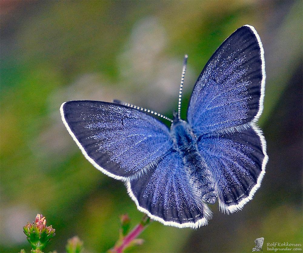 Violett blåvinge (Plebejus optilete) Hona