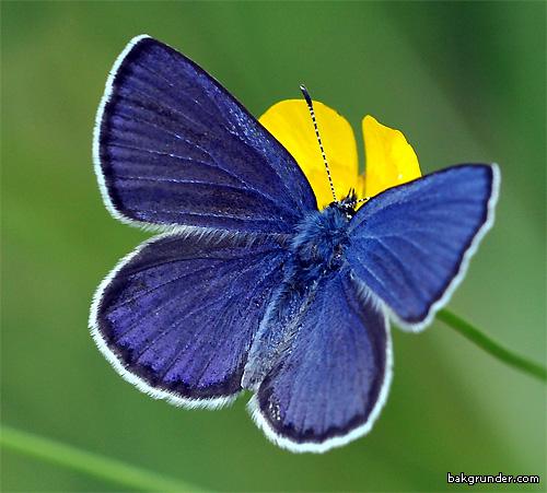 Violett blåvinge Plebejus optilete