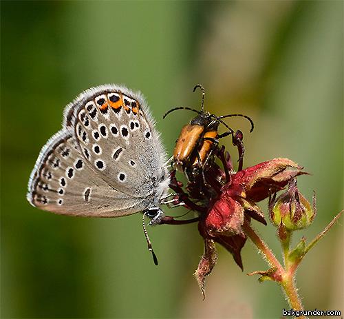 Violett blåvinge Plebejus optilete med skalbaggar