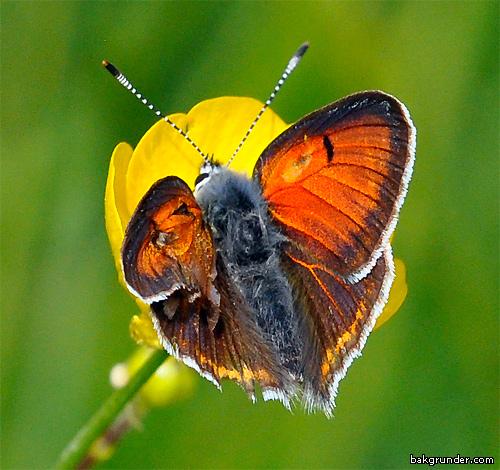 Violettkantad guldvinge 2014  Lycaena hippothoe