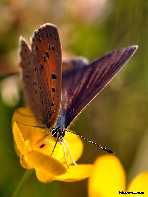 Violettkantad guldvinge Lycaena hippothoe