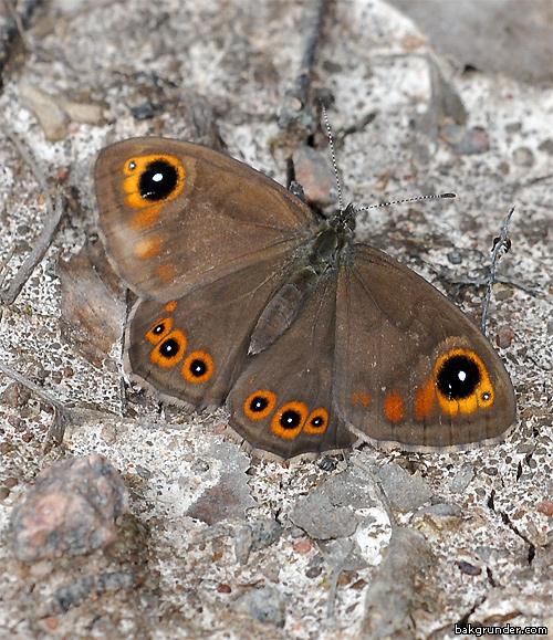 Vitgräsfjäril - Lasiommata maera