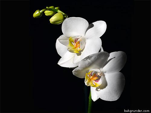 Vita orkidéer