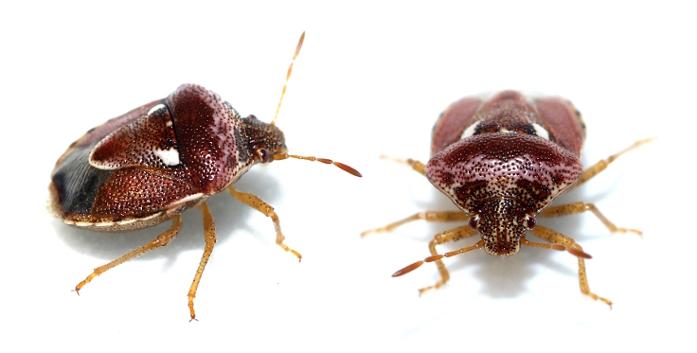 Veronikabärfis – Stagonomus bipunctatus
